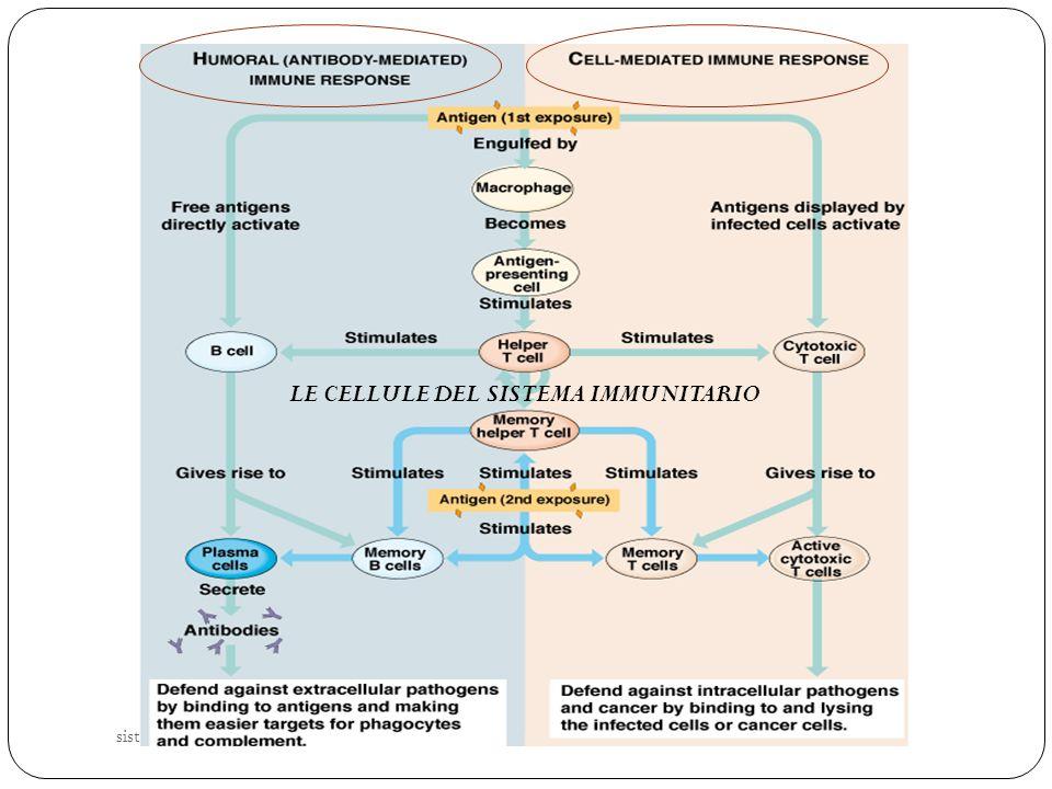 sistema immunitario 24 LE CELLULE DEL SISTEMA IMMUNITARIO