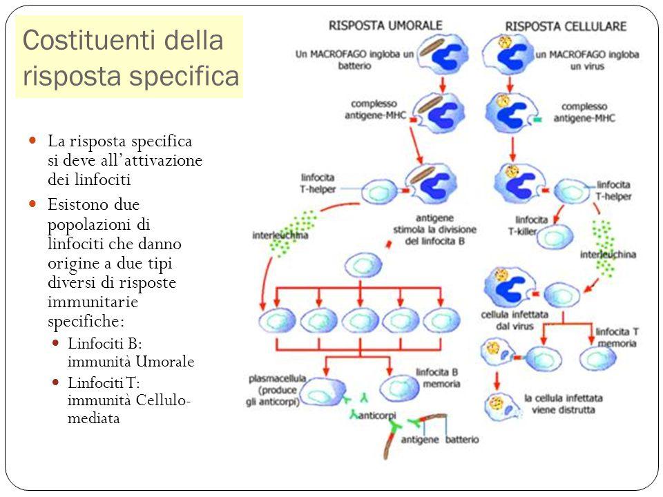 Costituenti della risposta specifica 30 La risposta specifica si deve allattivazione dei linfociti Esistono due popolazioni di linfociti che danno origine a due tipi diversi di risposte immunitarie specifiche: Linfociti B: immunità Umorale Linfociti T: immunità Cellulo- mediata