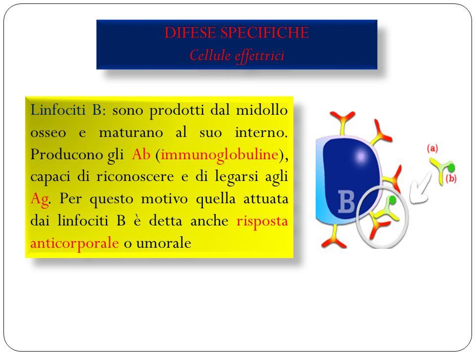 31 DIFESE SPECIFICHE Cellule effettrici DIFESE SPECIFICHE Cellule effettrici Linfociti B: sono prodotti dal midollo osseo e maturano al suo interno.