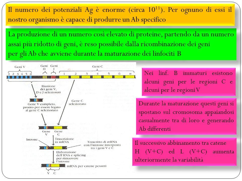 sistema immunitario 32 La produzione di un numero così elevato di proteine, partendo da un numero assai più ridotto di geni, è reso possibile dalla ricombinazione dei geni per gli Ab che avviene durante la maturazione dei linfociti B La produzione di un numero così elevato di proteine, partendo da un numero assai più ridotto di geni, è reso possibile dalla ricombinazione dei geni per gli Ab che avviene durante la maturazione dei linfociti B Il numero dei potenziali Ag è enorme (circa 10 11 ).