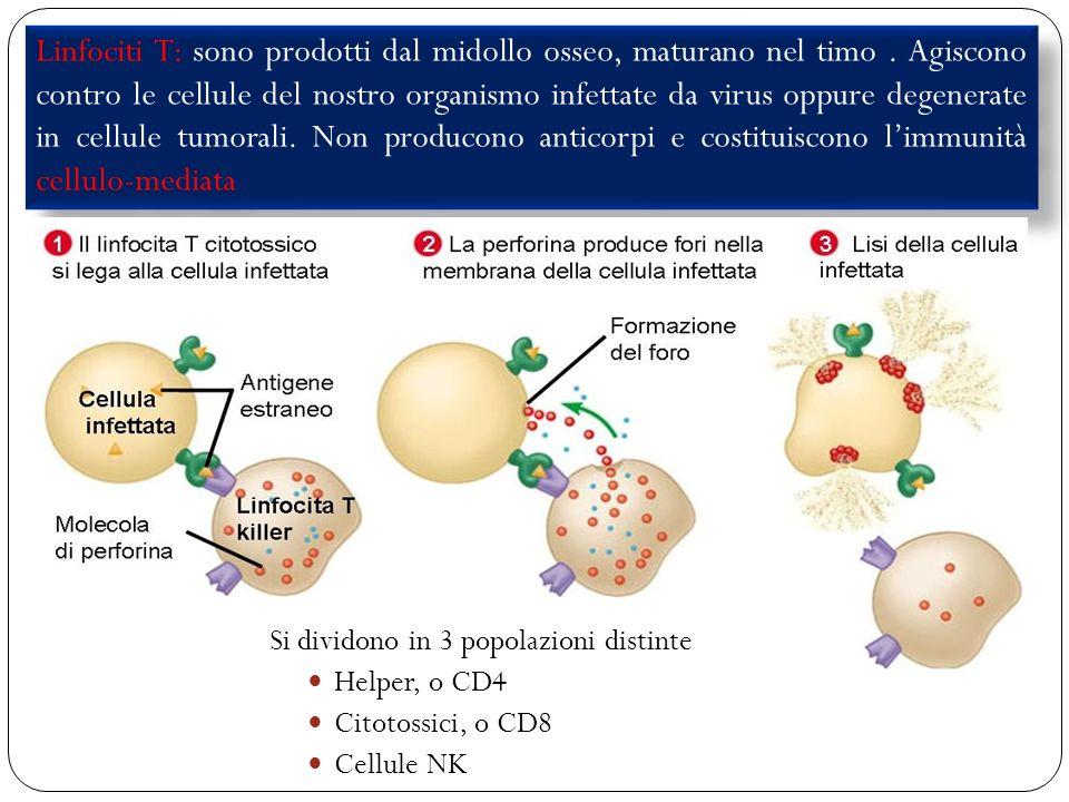 33 Linfociti T: sono prodotti dal midollo osseo, maturano nel timo. Agiscono contro le cellule del nostro organismo infettate da virus oppure degenera