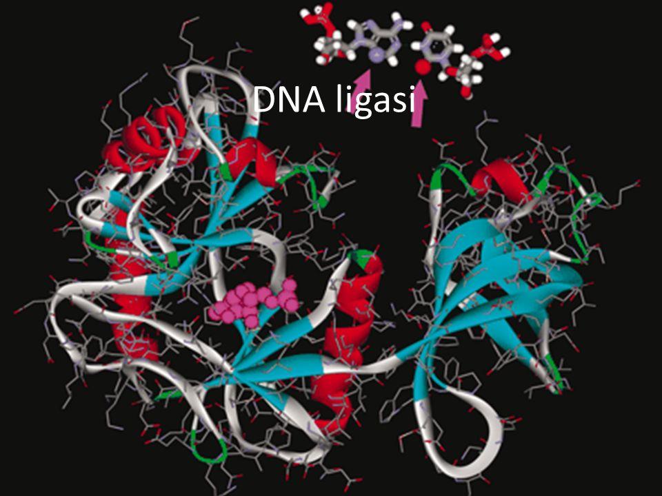 DNA ligasi