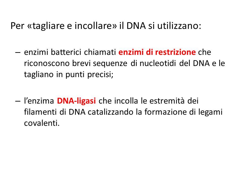Per «tagliare e incollare» il DNA si utilizzano: – enzimi batterici chiamati enzimi di restrizione che riconoscono brevi sequenze di nucleotidi del DNA e le tagliano in punti precisi; – lenzima DNA-ligasi che incolla le estremità dei filamenti di DNA catalizzando la formazione di legami covalenti.