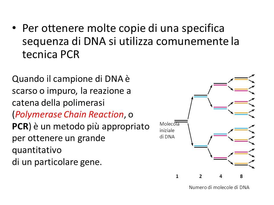 Per ottenere molte copie di una specifica sequenza di DNA si utilizza comunemente la tecnica PCR 1248 Molecola iniziale di DNA Numero di molecole di DNA Quando il campione di DNA è scarso o impuro, la reazione a catena della polimerasi (Polymerase Chain Reaction, o PCR) è un metodo più appropriato per ottenere un grande quantitativo di un particolare gene.