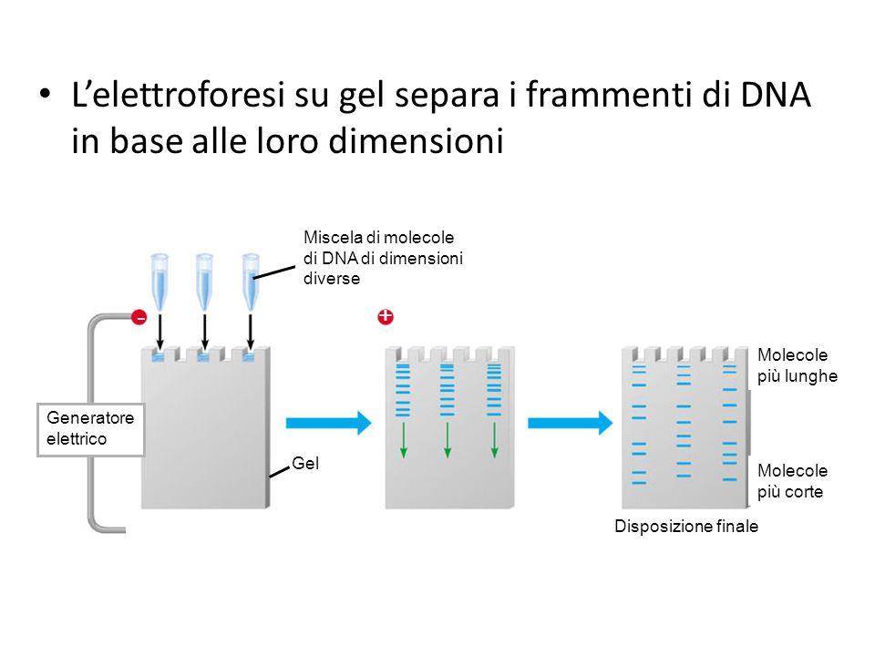 Lelettroforesi su gel separa i frammenti di DNA in base alle loro dimensioni ++ Generatore elettrico Gel Miscela di molecole di DNA di dimensioni diverse Molecole più lunghe Molecole più corte Disposizione finale - +