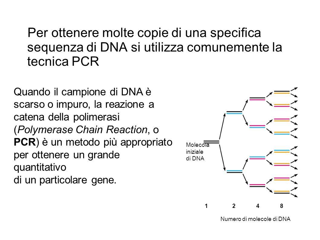 Per ottenere molte copie di una specifica sequenza di DNA si utilizza comunemente la tecnica PCR 1248 Molecola iniziale di DNA Numero di molecole di D