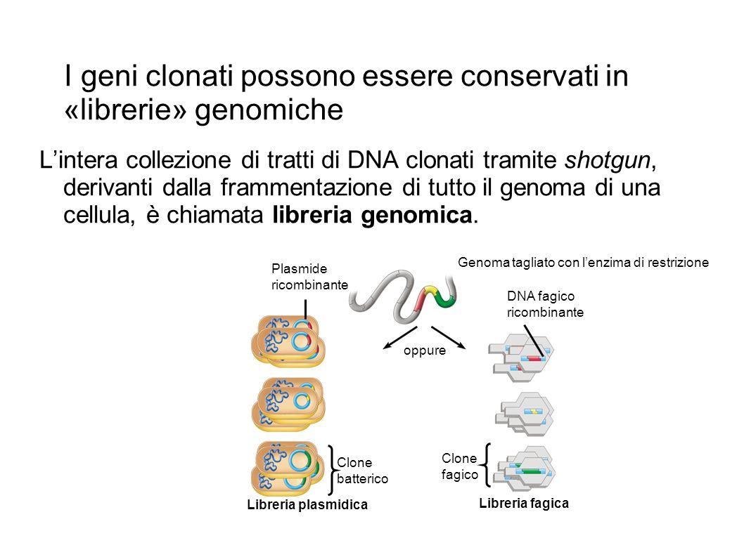 I geni clonati possono essere conservati in «librerie» genomiche Lintera collezione di tratti di DNA clonati tramite shotgun, derivanti dalla frammentazione di tutto il genoma di una cellula, è chiamata libreria genomica.