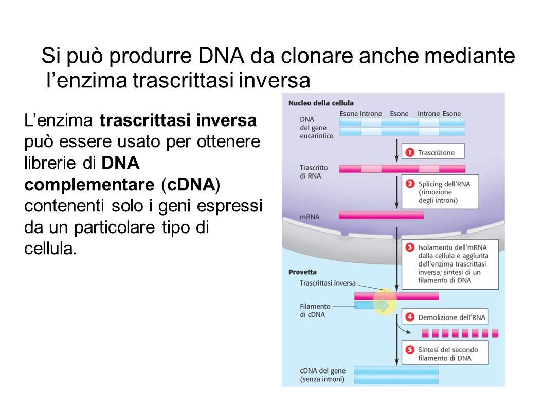 Si può produrre DNA da clonare anche mediante lenzima trascrittasi inversa Lenzima trascrittasi inversa può essere usato per ottenere librerie di DNA complementare (cDNA) contenenti solo i geni espressi da un particolare tipo di cellula.