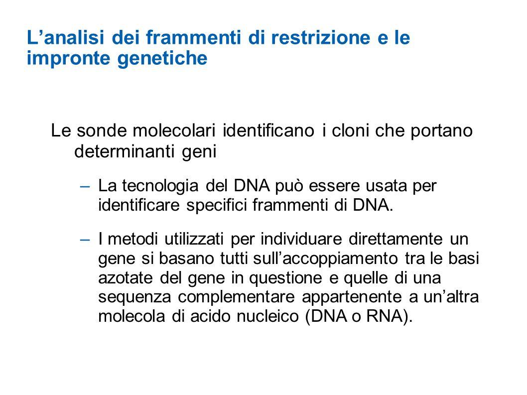 Lanalisi dei frammenti di restrizione e le impronte genetiche Le sonde molecolari identificano i cloni che portano determinanti geni –La tecnologia de