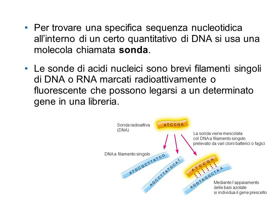Per trovare una specifica sequenza nucleotidica allinterno di un certo quantitativo di DNA si usa una molecola chiamata sonda. Le sonde di acidi nucle