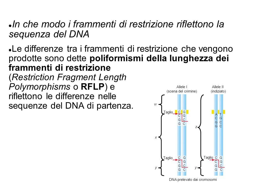 In che modo i frammenti di restrizione riflettono la sequenza del DNA Le differenze tra i frammenti di restrizione che vengono prodotte sono dette poliformismi della lunghezza dei frammenti di restrizione (Restriction Fragment Length Polymorphisms o RFLP) e riflettono le differenze nelle sequenze del DNA di partenza.