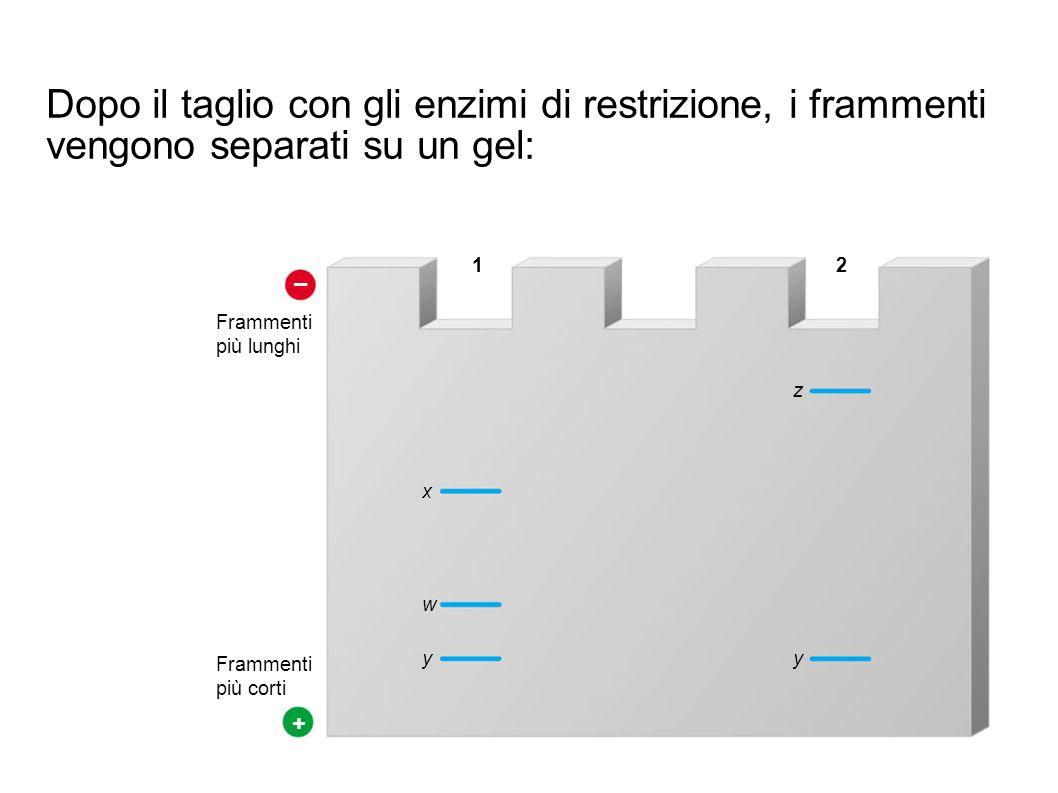 – + Frammenti più lunghi Frammenti più corti x w y z y 12 Dopo il taglio con gli enzimi di restrizione, i frammenti vengono separati su un gel: