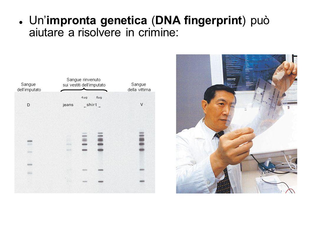 Sangue dellimputato Sangue rinvenuto sui vestiti dellimputato Sangue della vittima Unimpronta genetica (DNA fingerprint) può aiutare a risolvere in cr