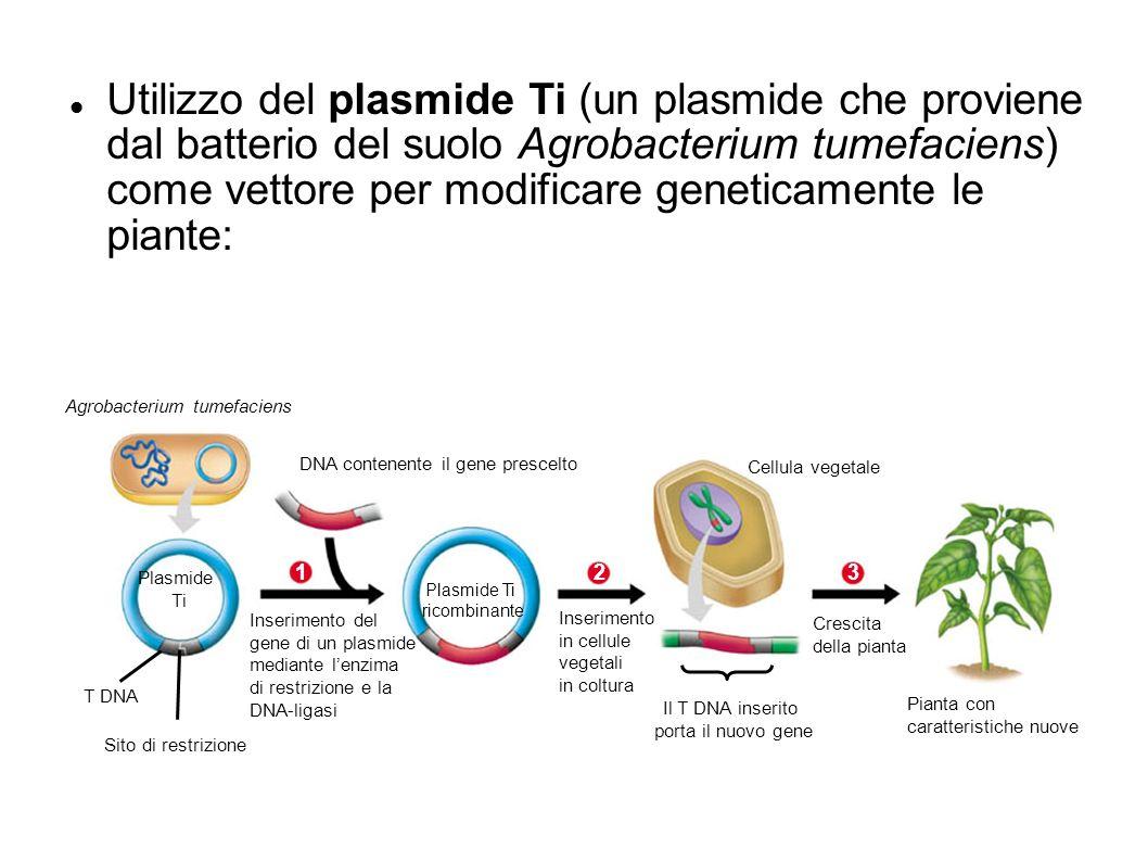 Agrobacterium tumefaciens DNA contenente il gene prescelto Plasmide Ti 1 Inserimento del gene di un plasmide mediante lenzima di restrizione e la DNA-