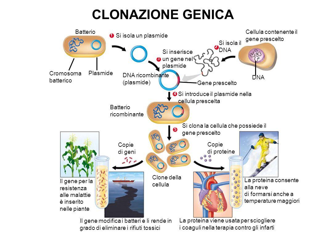 Batterio Cromosoma batterico Plasmide 2 Cellula contenente il gene prescelto DNA Gene prescelto DNA ricombinante (plasmide) Batterio ricombinante Copie di proteine Copie di geni Clone della cellula Il gene per la resistenza alle malattie è inserito nelle piante Il gene modifica i batteri e li rende in grado di eliminare i rifiuti tossici La proteina viene usata per sciogliere i coaguli nella terapia contro gli infarti La proteina consente alla neve di formarsi anche a temperature maggiori Si isola un plasmide 1 Si isola il DNA 2 Si inserisce un gene nel plasmide 3 Si introduce il plasmide nella cellula prescelta 4 Si clona la cellula che possiede il gene prescelto 5 CLONAZIONE GENICA