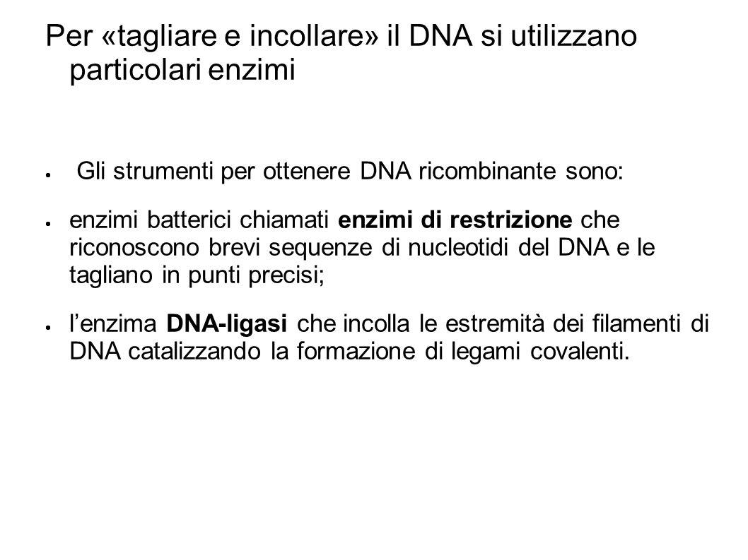 Per «tagliare e incollare» il DNA si utilizzano particolari enzimi Gli strumenti per ottenere DNA ricombinante sono: enzimi batterici chiamati enzimi di restrizione che riconoscono brevi sequenze di nucleotidi del DNA e le tagliano in punti precisi; lenzima DNA-ligasi che incolla le estremità dei filamenti di DNA catalizzando la formazione di legami covalenti.