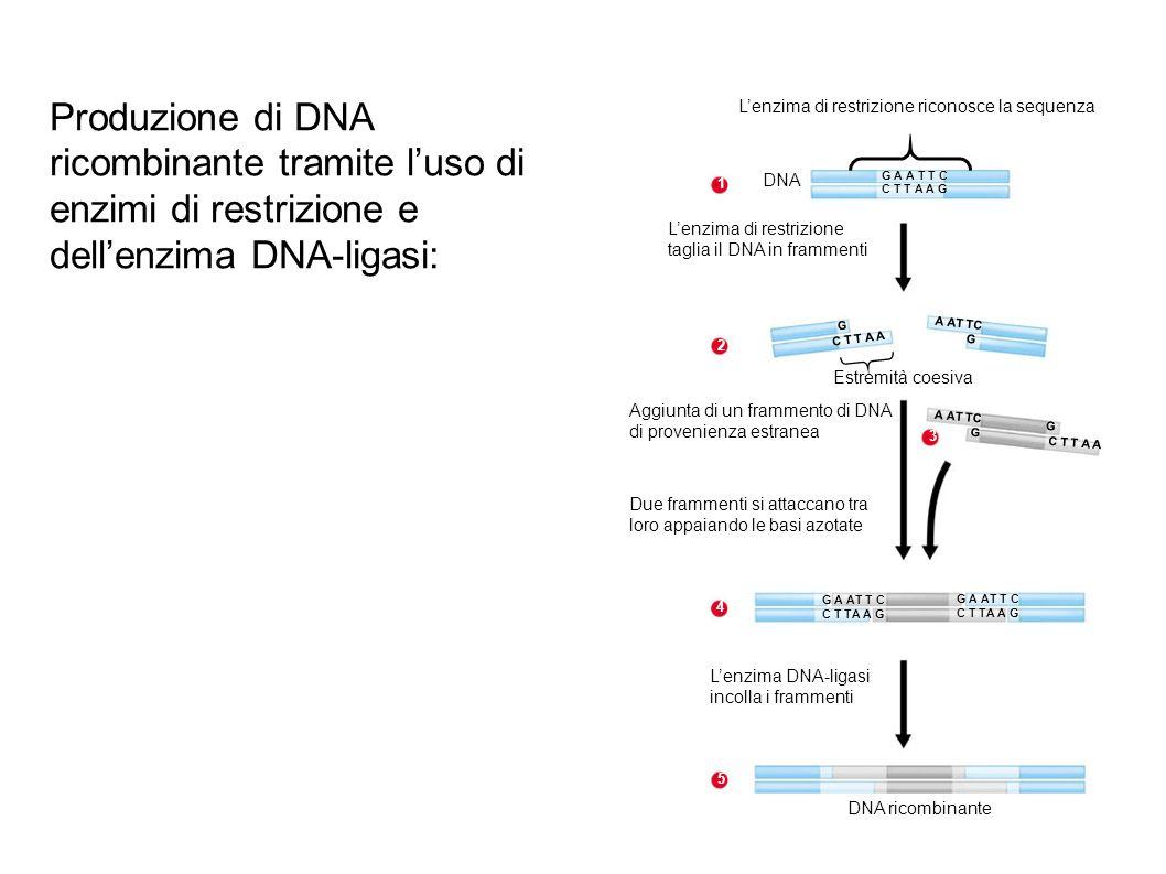 Agrobacterium tumefaciens DNA contenente il gene prescelto Plasmide Ti 1 Inserimento del gene di un plasmide mediante lenzima di restrizione e la DNA-ligasi Plasmide Ti ricombinante 2 Inserimento in cellule vegetali in coltura 3 Crescita della pianta Pianta con caratteristiche nuove Il T DNA inserito porta il nuovo gene Cellula vegetale T DNA Sito di restrizione Utilizzo del plasmide Ti (un plasmide che proviene dal batterio del suolo Agrobacterium tumefaciens) come vettore per modificare geneticamente le piante: