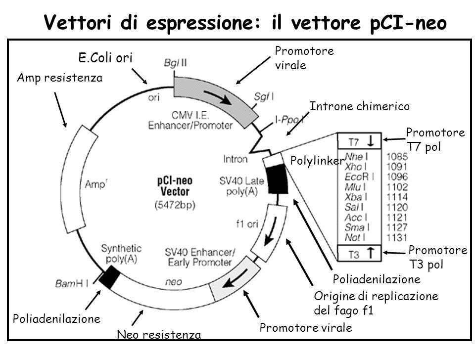 Vettori di espressione: il vettore pCI-neo Promotore virale Introne chimerico Polylinker Poliadenilazione Promotore T7 pol Promotore T3 pol Origine di
