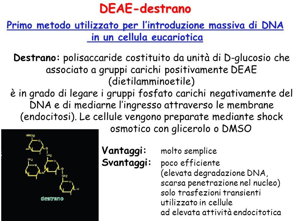 DEAE-destrano Primo metodo utilizzato per lintroduzione massiva di DNA in un cellula eucariotica Destrano: polisaccaride costituito da unità di D-gluc