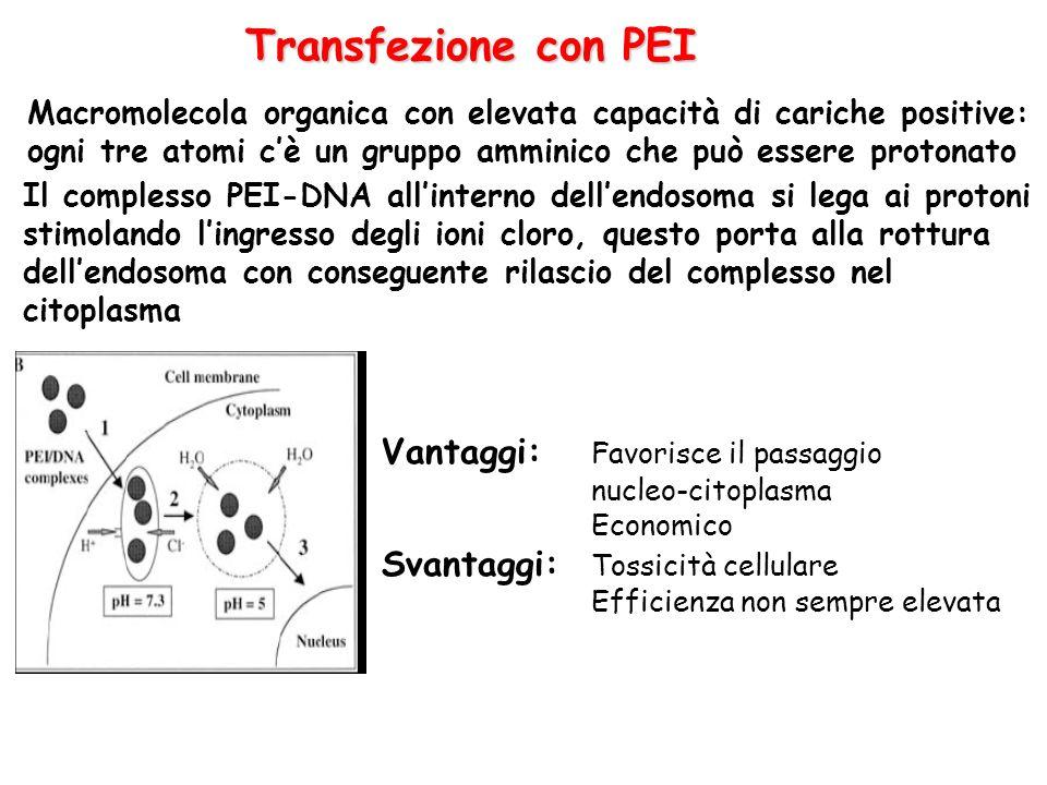 Transfezione con PEI Macromolecola organica con elevata capacità di cariche positive: ogni tre atomi cè un gruppo amminico che può essere protonato Il