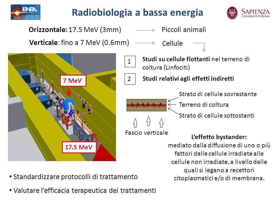 Radiobiologia a bassa energia Verticale: fino a 7 MeV (0.6mm) Orizzontale: 17.5 MeV (3mm)Piccoli animali Cellule Fascio verticale Strato di cellule sottostanti Strato di cellule sovrastante Terreno di coltura 1 2 Studi su cellule flottanti nel terreno di coltura (Linfociti) Studi relativi agli effetti indiretti 7 MeV 17.5 MeV Standardizzare protocolli di trattamento Valutare lefficacia terapeutica dei trattamenti Leffetto bystander: mediato dalla diffusione di uno o più fattori dalle cellule irradiate alle cellule non irradiate, a livello delle quali si legano a recettori citoplasmatici e/o di membrana.