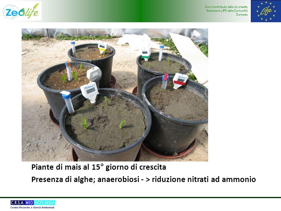 Con il contributo dello strumento finanziario LIFE della Comunità Europea Piante di mais al 15° giorno di crescita Presenza di alghe; anaerobiosi - > riduzione nitrati ad ammonio