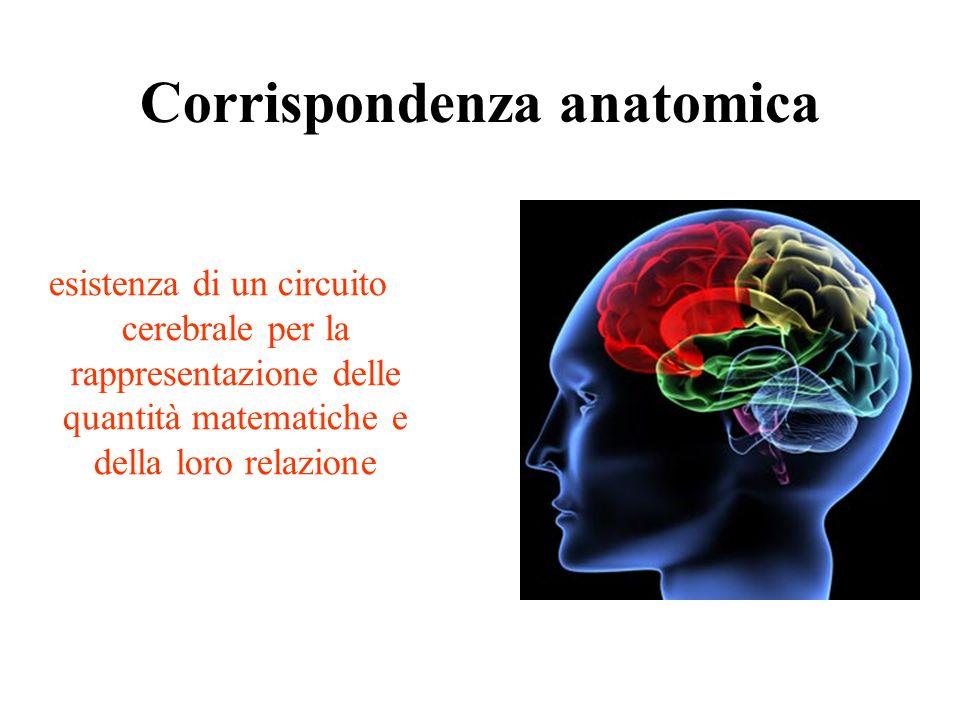 Corrispondenza anatomica esistenza di un circuito cerebrale per la rappresentazione delle quantità matematiche e della loro relazione