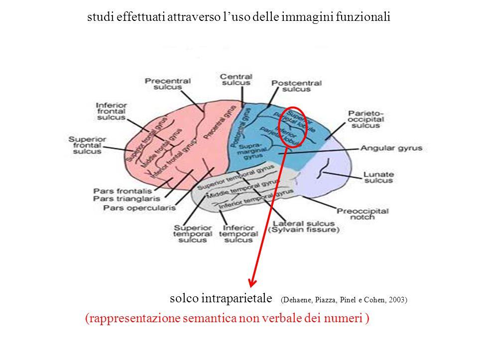 studi effettuati attraverso luso delle immagini funzionali solco intraparietale (Dehaene, Piazza, Pinel e Cohen, 2003) (rappresentazione semantica non verbale dei numeri )