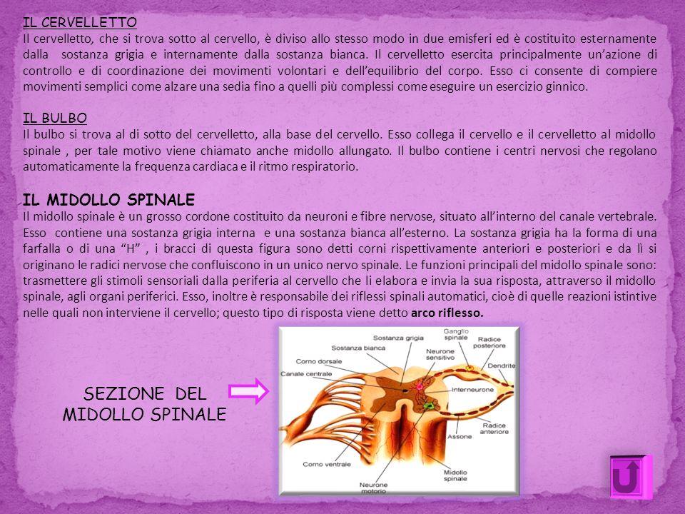 IL CERVELLETTO Il cervelletto, che si trova sotto al cervello, è diviso allo stesso modo in due emisferi ed è costituito esternamente dalla sostanza g