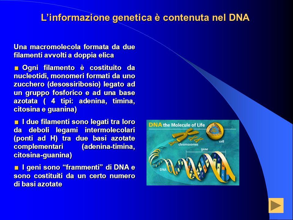 Linformazione genetica è contenuta nel DNA Una macromolecola formata da due filamenti avvolti a doppia elica Ogni filamento è costituito da nucleotidi