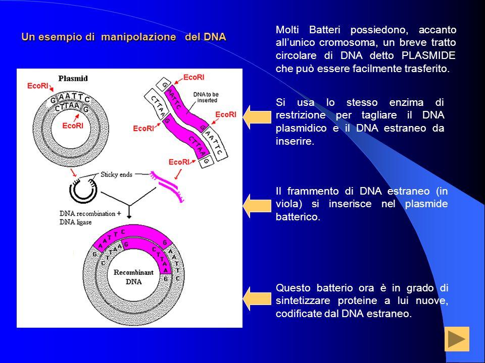 Un esempio di manipolazione del DNA Molti Batteri possiedono, accanto allunico cromosoma, un breve tratto circolare di DNA detto PLASMIDE che può esse