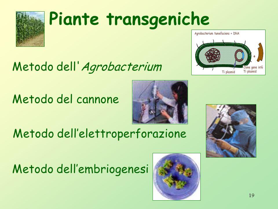18 Metodo dell'Agrobacterium nellinserimento del gene isolato in un vettore molecolare (es.: il plasmide batterico TI).