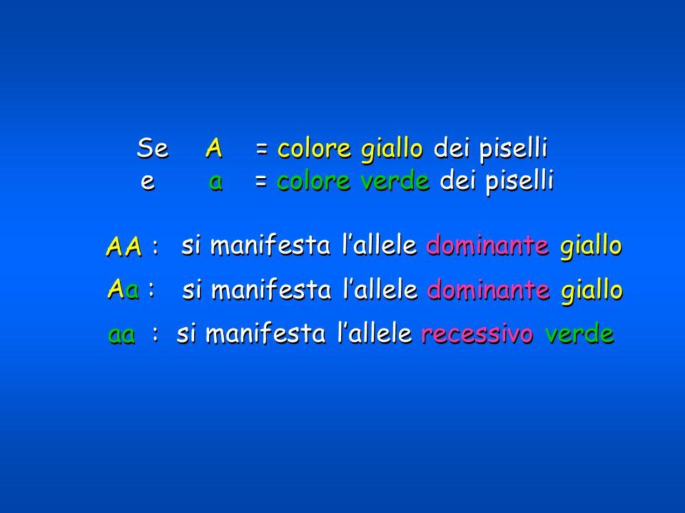 si manifesta lallele dominante giallo si manifesta lallele recessivo verde Se A = colore giallo dei piselli ea = colore verde dei piselli Aa : aa : AA
