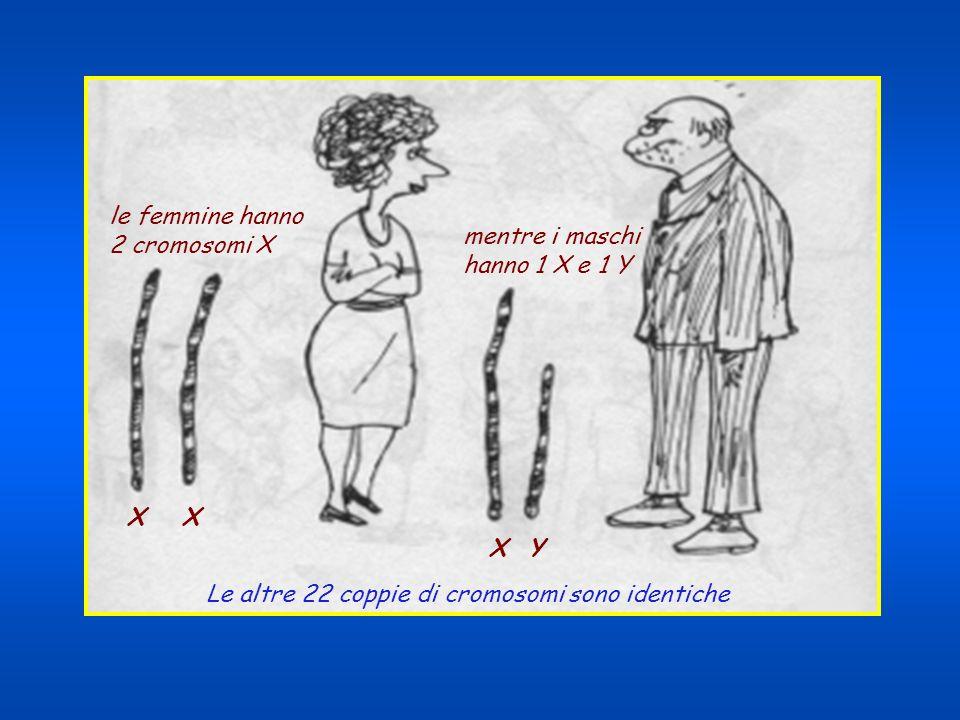 La calvizie è un carattere recessivo legato al cromosoma X.