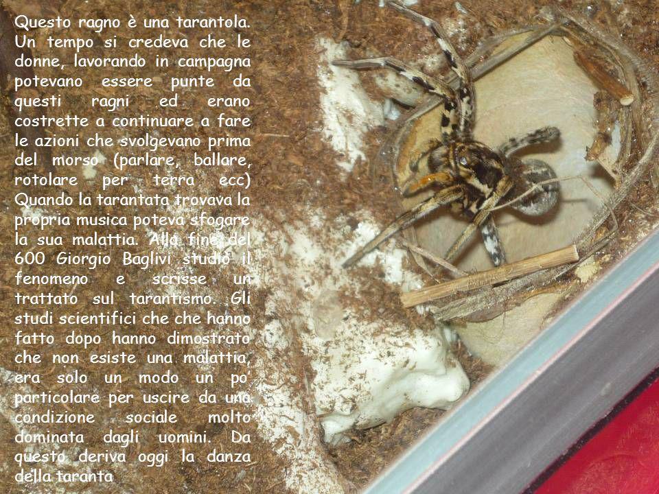 Questo ragno è una tarantola. Un tempo si credeva che le donne, lavorando in campagna potevano essere punte da questi ragni ed erano costrette a conti