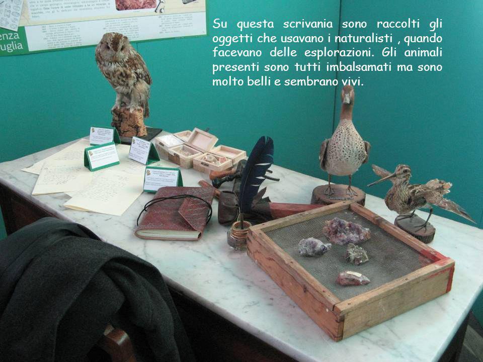 Su questa scrivania sono raccolti gli oggetti che usavano i naturalisti, quando facevano delle esplorazioni. Gli animali presenti sono tutti imbalsama