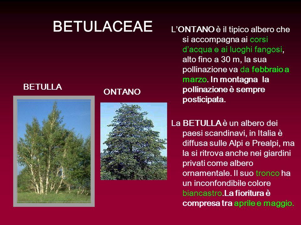 BETULACEAE LONTANO è il tipico albero che si accompagna ai corsi dacqua e ai luoghi fangosi, alto fino a 30 m, la sua pollinazione va da febbraio a ma