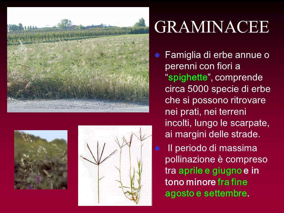 GRAMINACEE Famiglia di erbe annue o perenni con fiori aspighette, comprende circa 5000 specie di erbe che si possono ritrovare nei prati, nei terreni