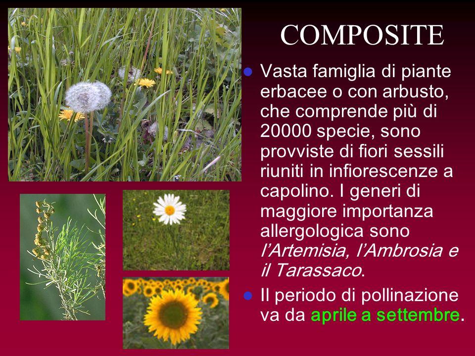 COMPOSITE Vasta famiglia di piante erbacee o con arbusto, che comprende più di 20000 specie, sono provviste di fiori sessili riuniti in infiorescenze