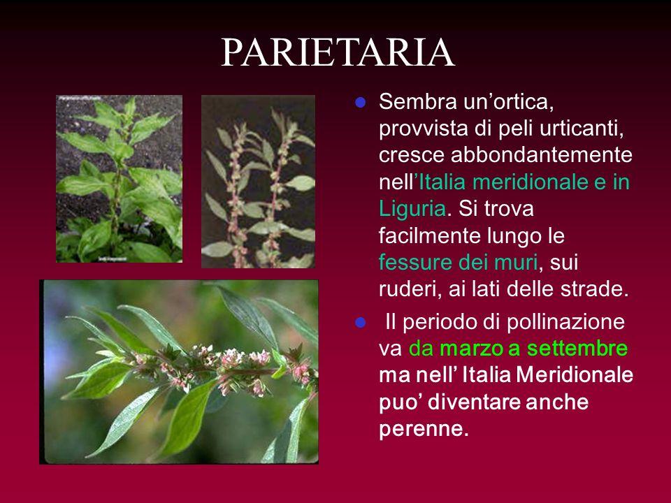 PARIETARIA Sembra unortica, provvista di peli urticanti, cresce abbondantemente nellItalia meridionale e in Liguria. Si trova facilmente lungo le fess