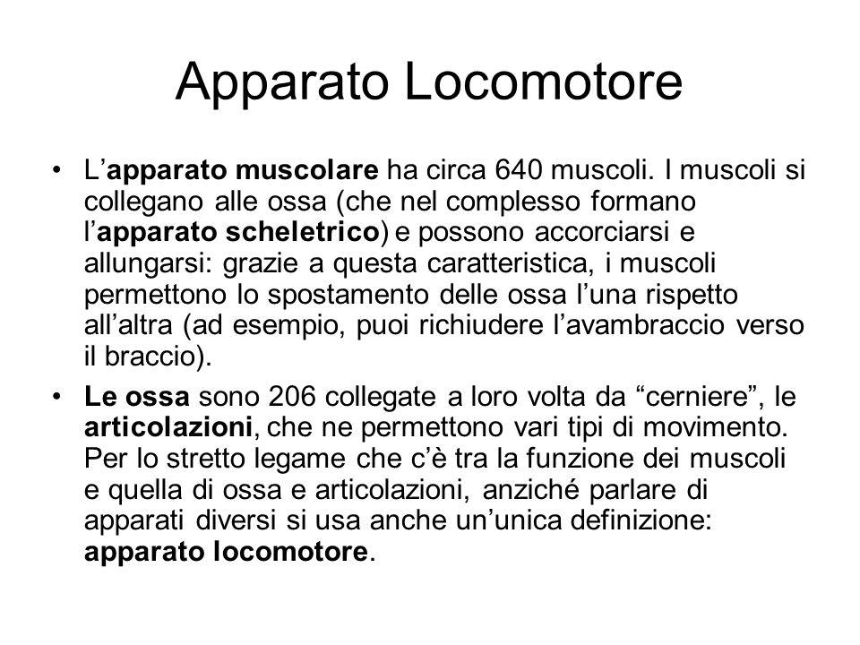 Apparato Locomotore Lapparato muscolare ha circa 640 muscoli. I muscoli si collegano alle ossa (che nel complesso formano lapparato scheletrico) e pos