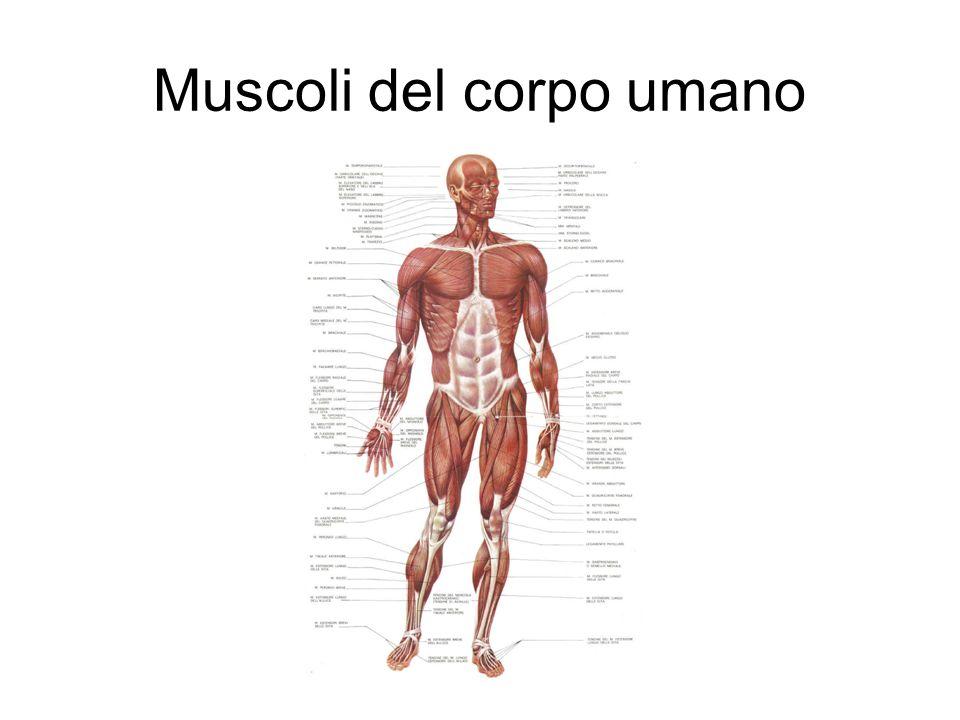 Alcuni muscoli possono essere uniti da un unico tendine (bicipite tricipite quadricipite)