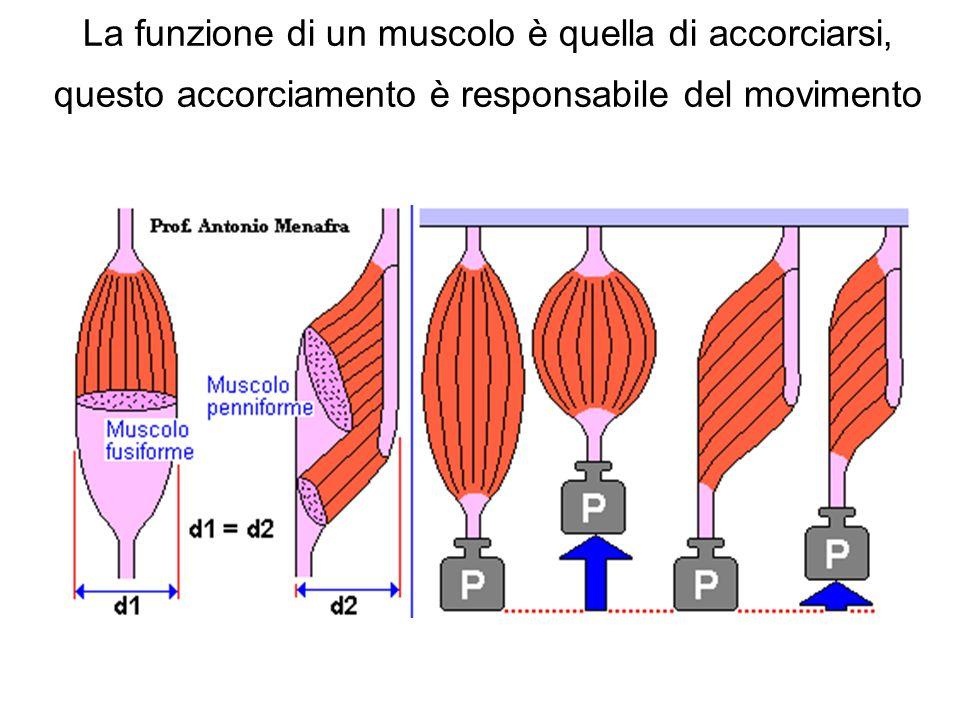 La funzione di un muscolo è quella di accorciarsi, questo accorciamento è responsabile del movimento