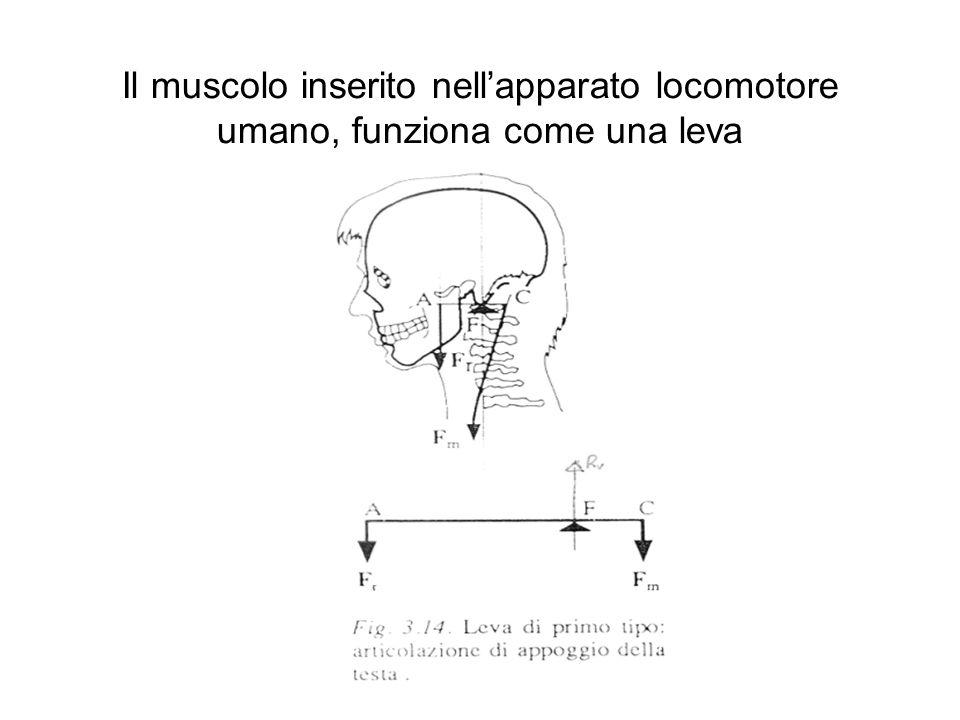 Il muscolo inserito nellapparato locomotore umano, funziona come una leva Disegno leva