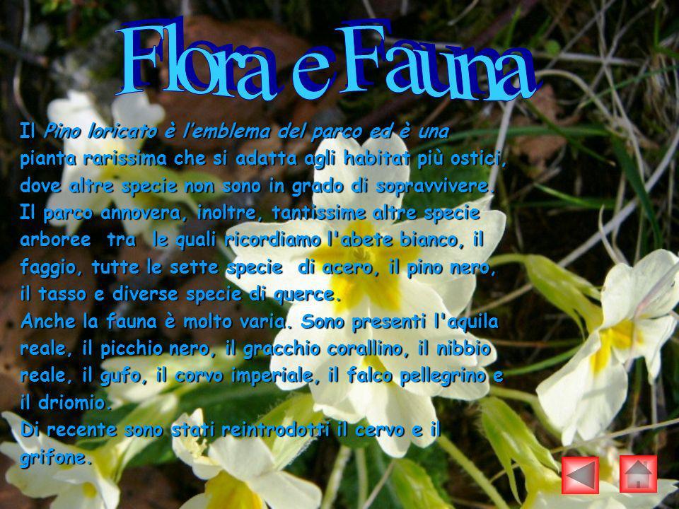 Il Pino loricato è lemblema del parco ed è una pianta rarissima che si adatta agli habitat più ostici, dove altre specie non sono in grado di sopravvi