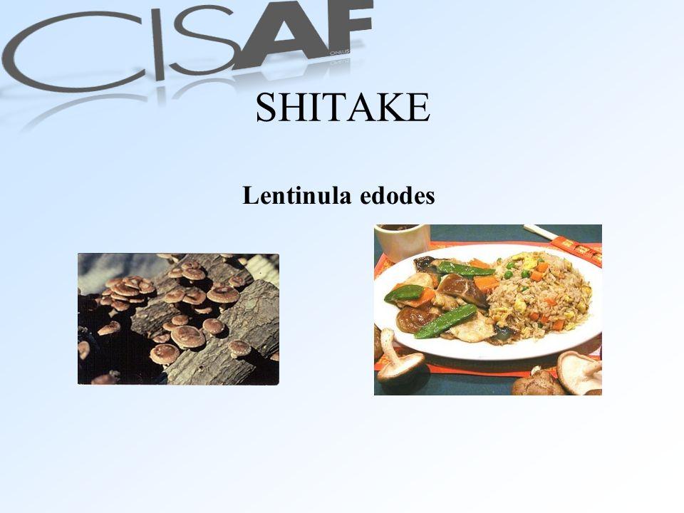 SHITAKE Lentinula edodes