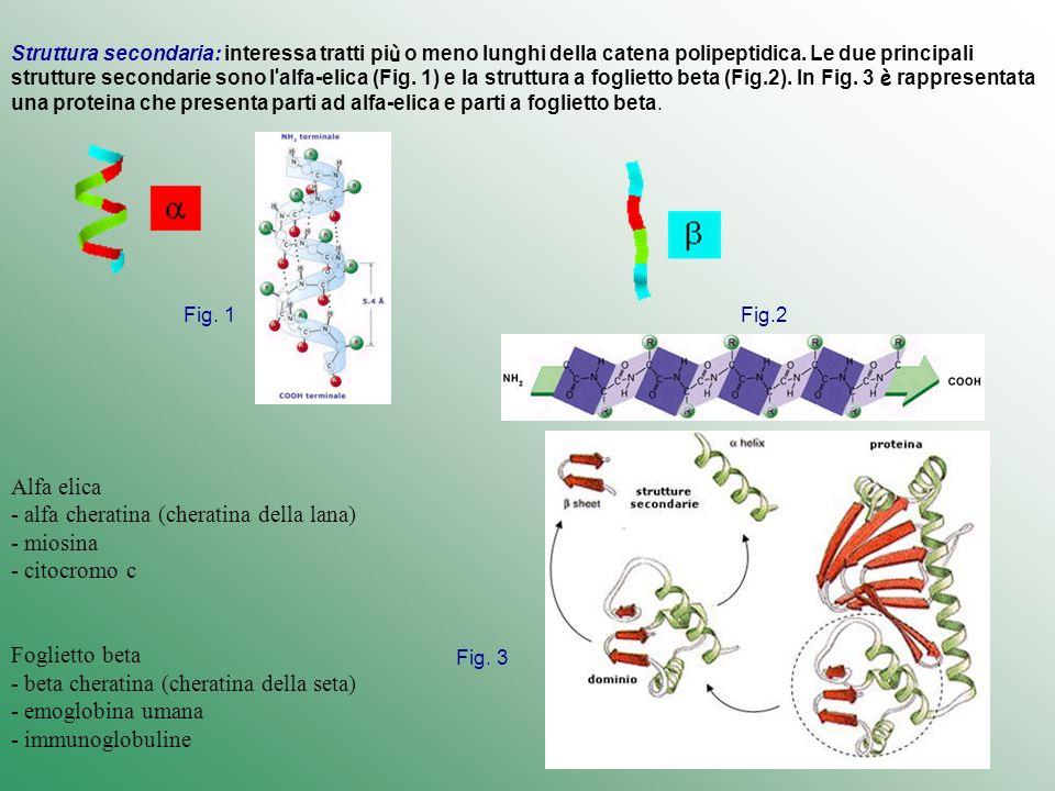 Alfa elica - alfa cheratina (cheratina della lana) - miosina - citocromo c Foglietto beta - beta cheratina (cheratina della seta) - emoglobina umana -
