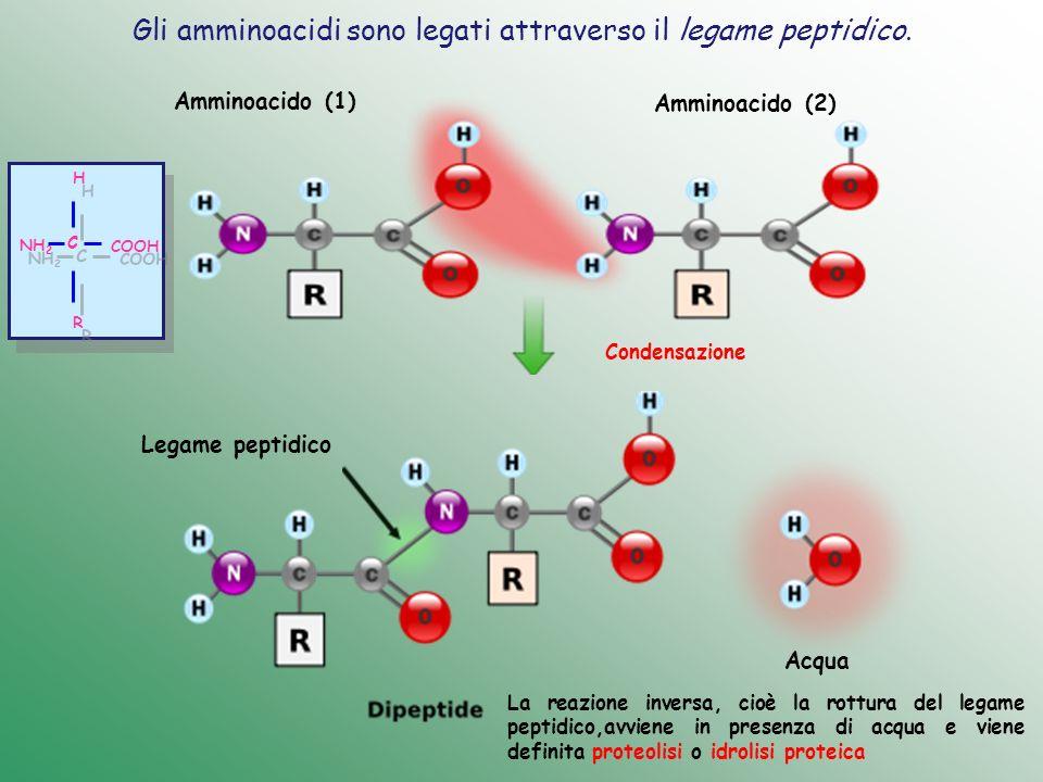Gli amminoacidi sono legati attraverso il legame peptidico. Amminoacido (1) Amminoacido (2) Acqua Legame peptidico C C H H R R COOH NH 2 Condensazione