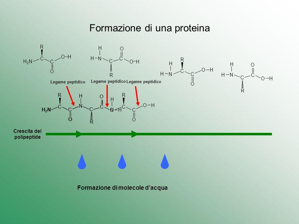 Formazione di una proteina H2NH2N C O C R C O C O¯HO¯H R N H H O H H N C O C R H H C O C R N H N C O C R H2NH2N C O C R H N C O C R H2NH2N C O C R H N