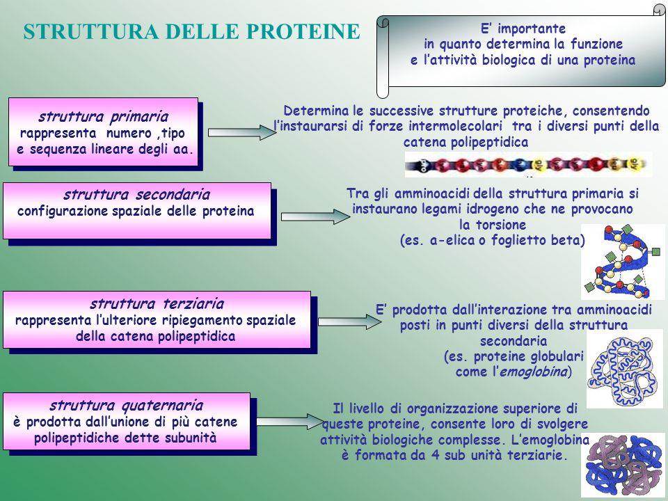 struttura primaria rappresenta numero,tipo e sequenza lineare degli aa. struttura primaria rappresenta numero,tipo e sequenza lineare degli aa. strutt